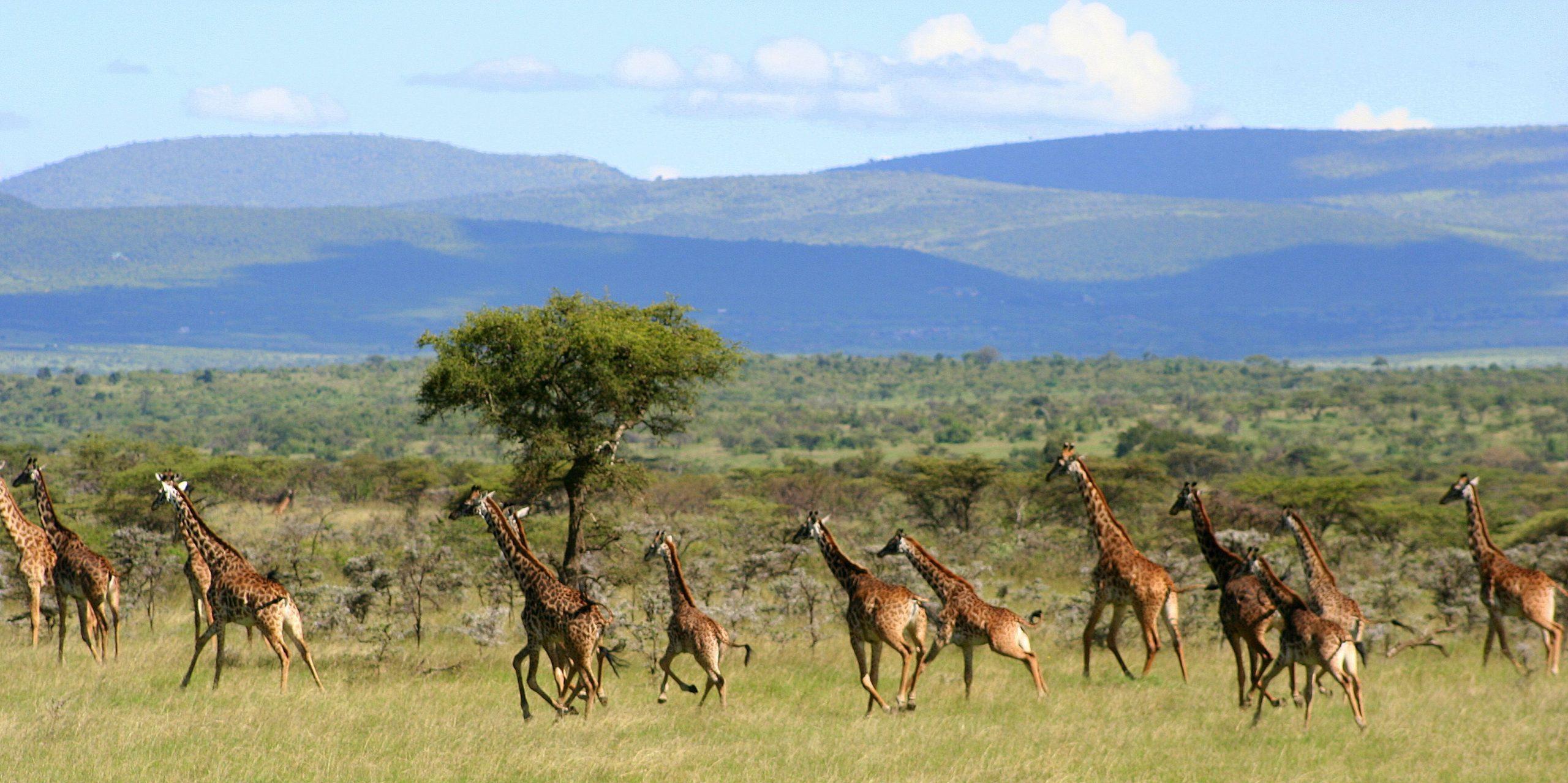 Giraffes at Encounter Mara - Asilia