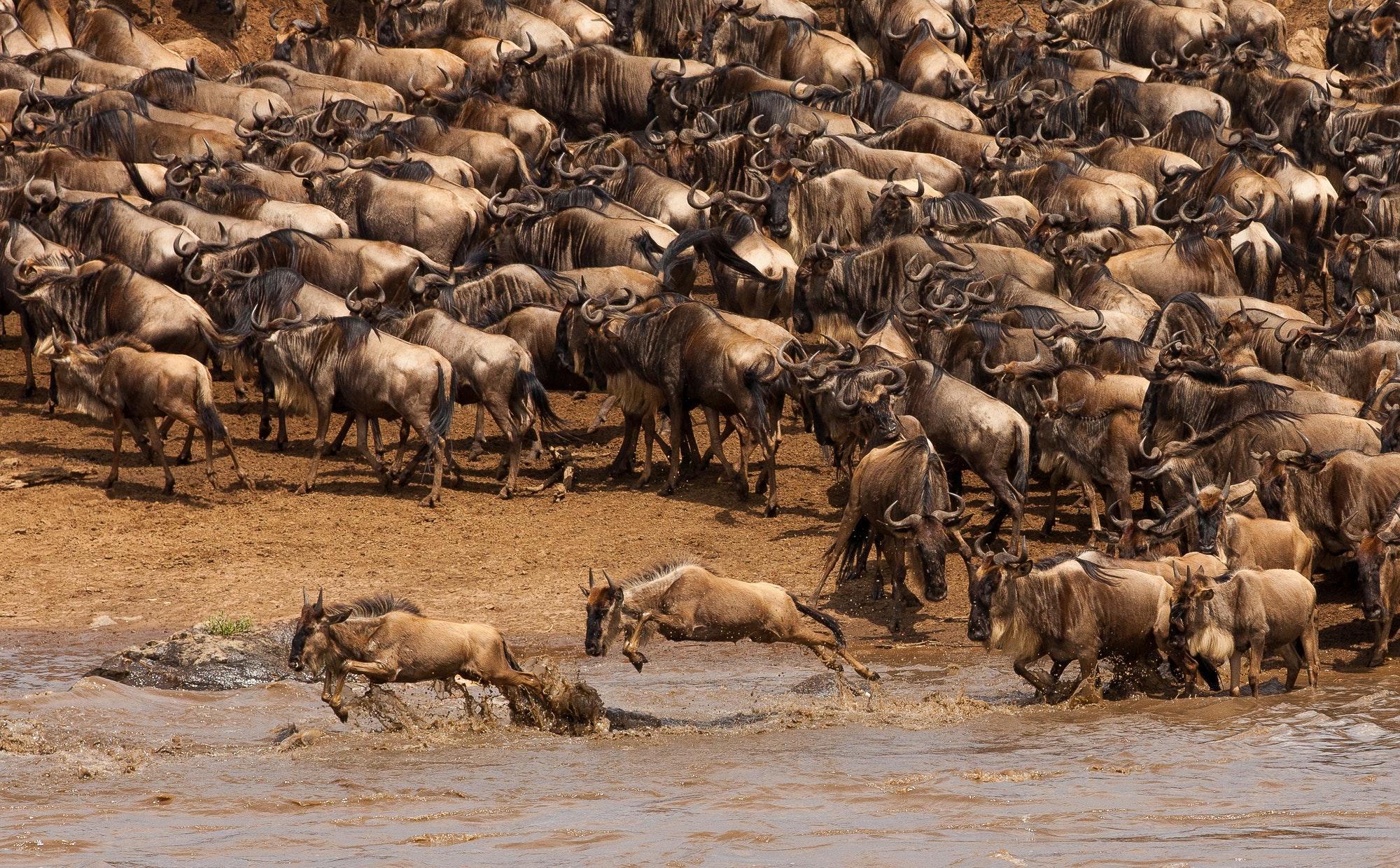 Wildebeest Migration near Encounter Mara